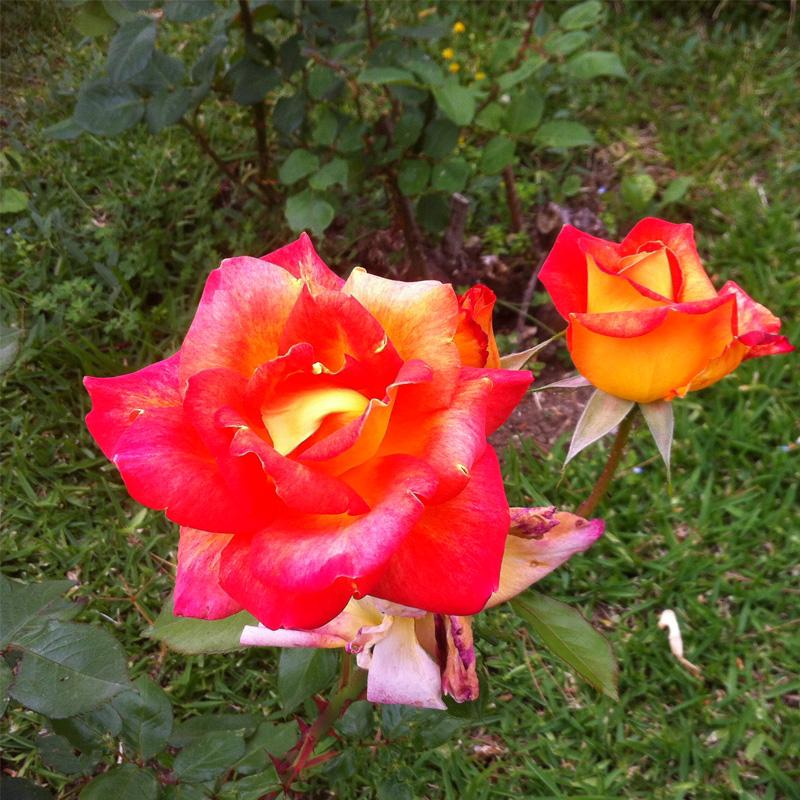 Ruusu Pansion Marinan puutarhasta